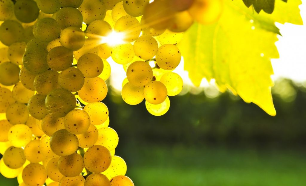 Chardonnay-grape-vineyards-champagne.jpg