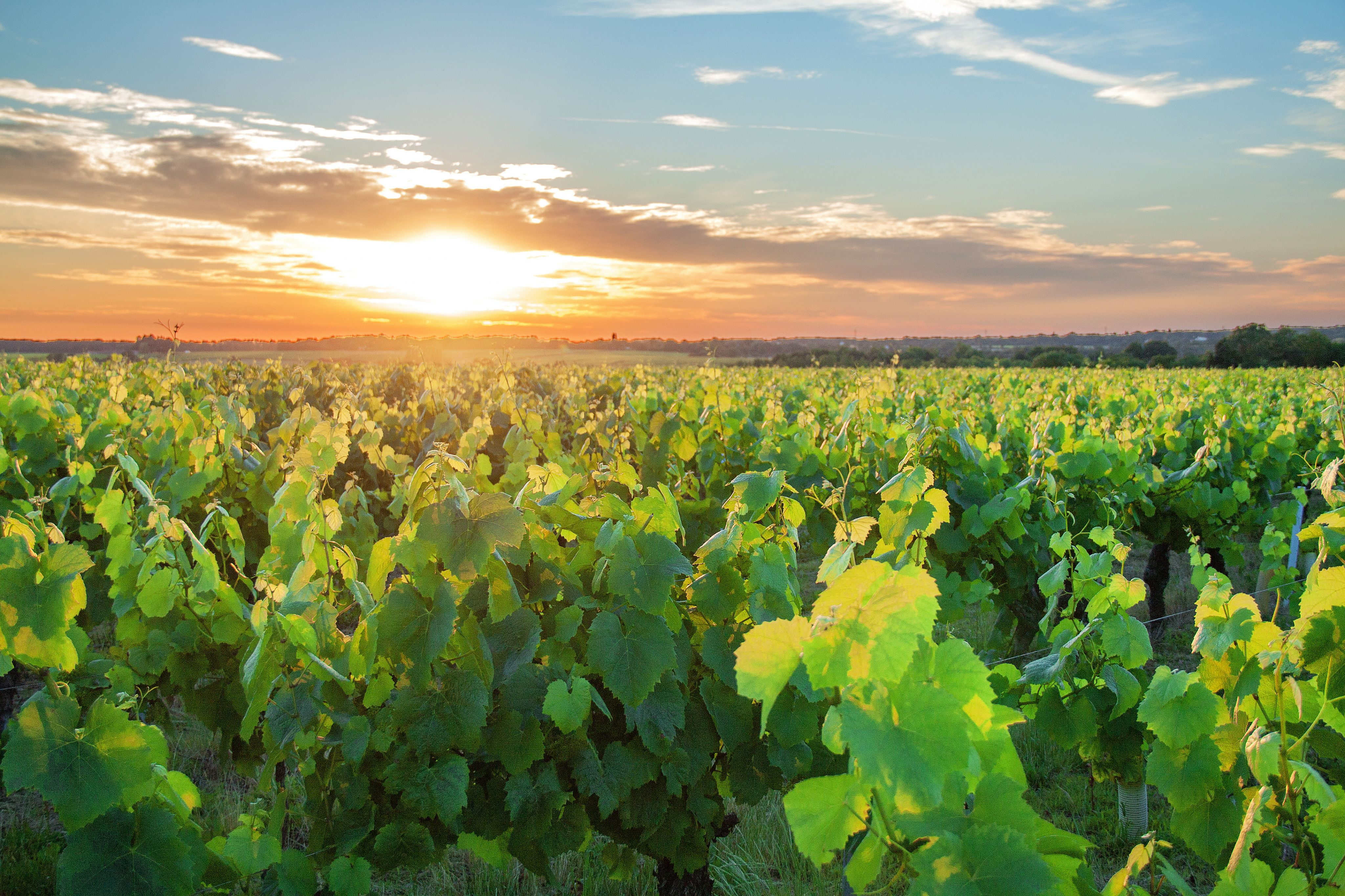 Sunset-over-Muscadet-vineyards-.jpg